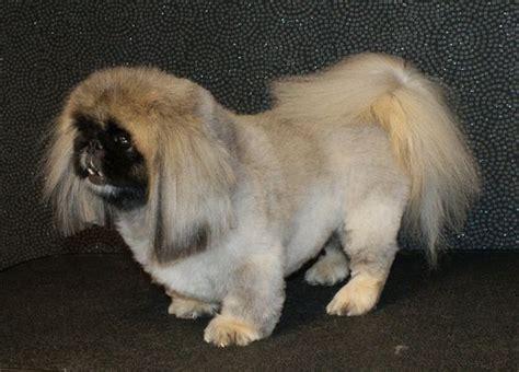 pekingese dog haircut styles info dog pinterest