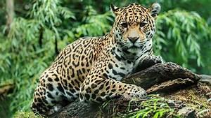 Jaguar escapes habitat at zoo and kills 6 animals | myfox8.com  Jaguar
