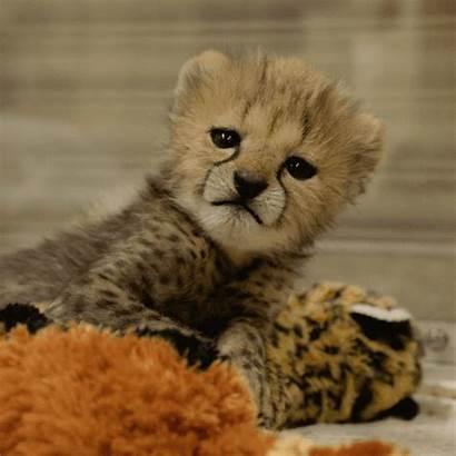 Animals Zoo Happy Cheetah Giphy Cheetahs Definition
