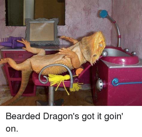 Bearded Dragon Memes - 25 best memes about bearded dragons bearded dragons memes