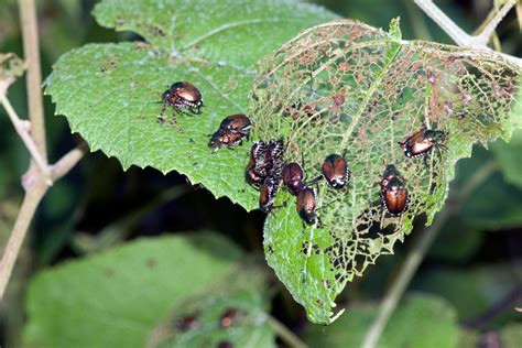 learn more about japanese beetle repellents