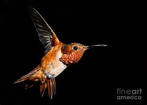 Allen's Hummingbird Photograph by Carl Jackson