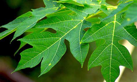 Papaya leaves - Supari.in