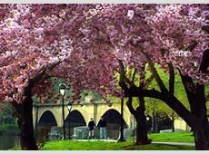 Spring Cherry Trees Help Maintain Fairmount Park