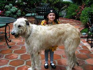 Red Wheaten Irish Wolfhound