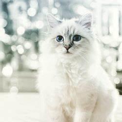 Choupette Chat Karl : comment choupette le chat de karl lagerfeld a gagn 3 millions d 39 euros en un an people wamiz ~ Medecine-chirurgie-esthetiques.com Avis de Voitures