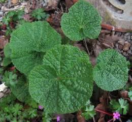 Hollyhock Leaf Identification
