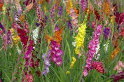 Dahlien überwintern Topf : gladiolen berwintern 4 wichtige tipps ~ Orissabook.com Haus und Dekorationen