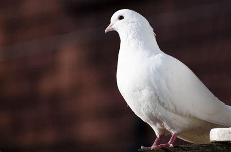 dove bird history symbolism types reproduction