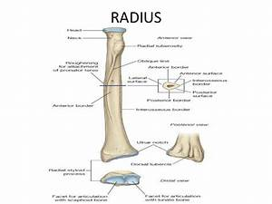 Radius Anatomy Related Keywords - Radius Anatomy Long Tail ...