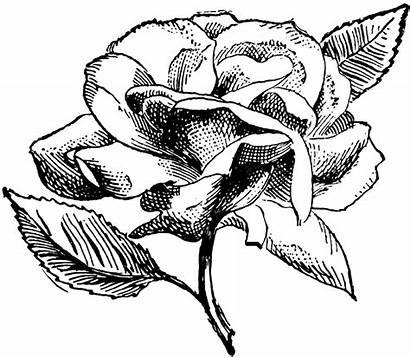 Rose Digital Clipart Flower Stamp Illustration Stamps