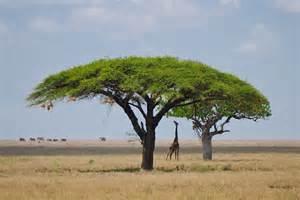 Savanna Trees