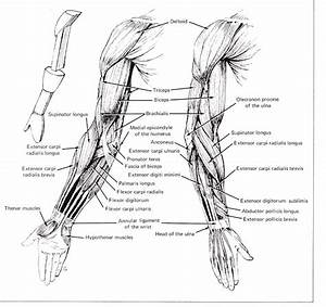 Arm Muscle Diagrams