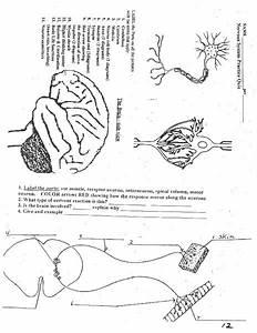 Nervous System Worksheet For 9th