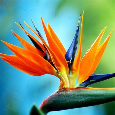 exotische potplanten met bloem online kopen wholesale paradise vogel bloem uit china