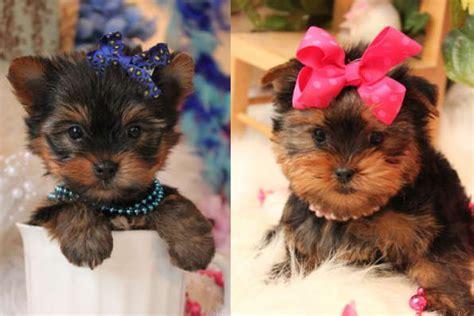 yorkies yorkshire terriers  sale  manhattan manhattan puppies kittens