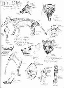 Thylacine Studies By Jennyparks On Deviantart