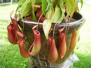 Nepenthes Pitcher Plant | Plant Wish List | Pinterest ...