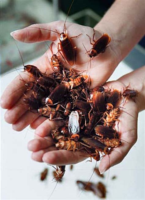american cockroach vce publications virginia tech