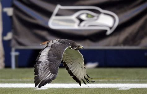 seattle seahawks hawk mascot taima calls  audible
