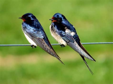 Barn Swallow  Birdforum Opus