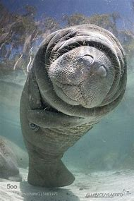 Gulf of Mexico Manatees
