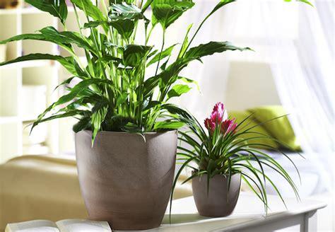 Zimmerpflanzen Richtig Pflegen 7 Tipps by Zimmerpflanzen Richtig Pflegen Tipps Obi