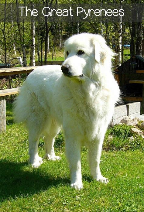 great pyrenees dogs great   dogvills