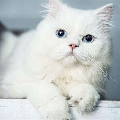 Persian Kitten ( Blue Eyes ) For Sale With Best Price In