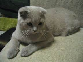 scottish fold cat file scottish fold jpg