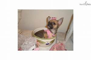 Meet under 2 lbs fully grown a cute Chihuahua puppy for ...