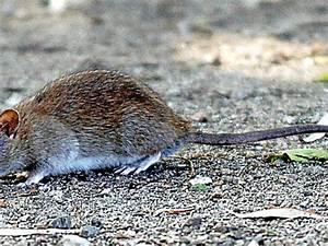 Was Tun Gegen Ratten : was tun gegen ratten im garten genial invasion gef hrlicher na iere gemeinde osdorf k mpft ~ A.2002-acura-tl-radio.info Haus und Dekorationen