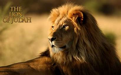 Lion Screensavers Lions Douglas Matthew Came Reading