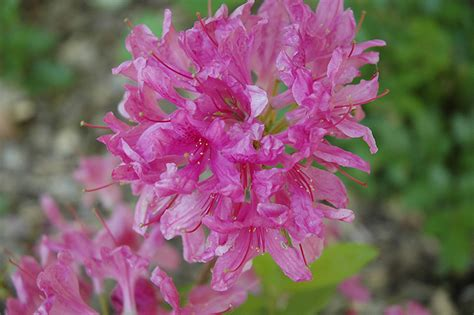 lilac lights azalea rhododendron lilac lights  inver