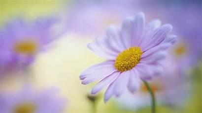 Daisy Wallpapers Desktop Flowers Pixelstalk Colorful Wiki
