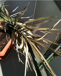 Phoenix Canariensis Pflege : phoenix canariensis seite 1 palmen ~ Lizthompson.info Haus und Dekorationen