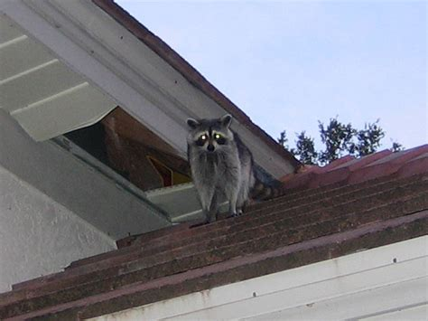 raccoon damage types of roof damage by rodents
