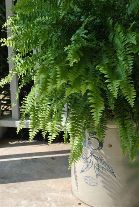 tropical sun plants shade partial sun loving boston fern sits on an iron