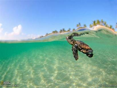Turtle Sea Wallpapers National Geographic Turtles Background