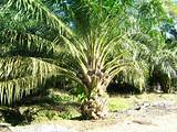 Images of The Oil Palm