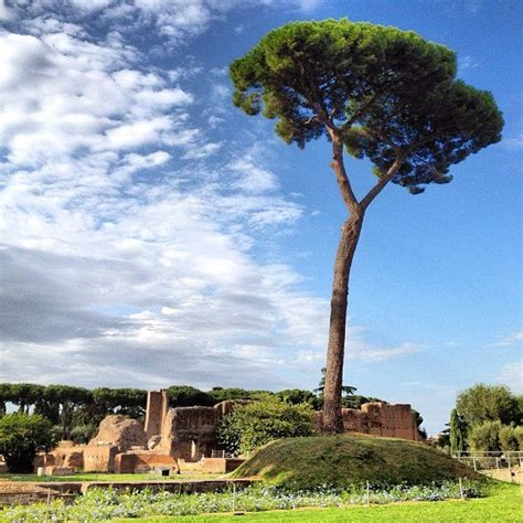 italian pine tree 17 best images about the pines of rome on 7609