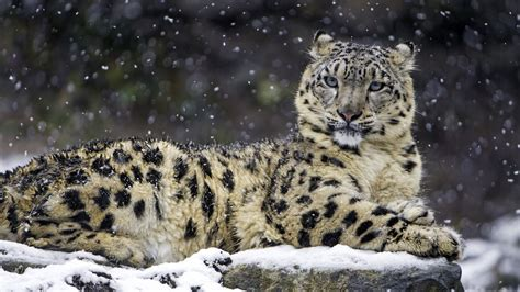 Animals In Snow Wallpaper - wallpaper snow leopard snow 4k animals 1654