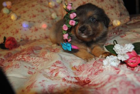shamrock rose aussies   shamrock rose aussies exciting news princess