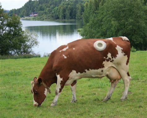 fistula cows  holes   stomachs norges miljo