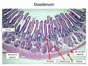 Image Result For Small Intestine Duodenum Histology