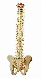 Spine Backbone Vertebrae  U00b7 Free Image On Pixabay