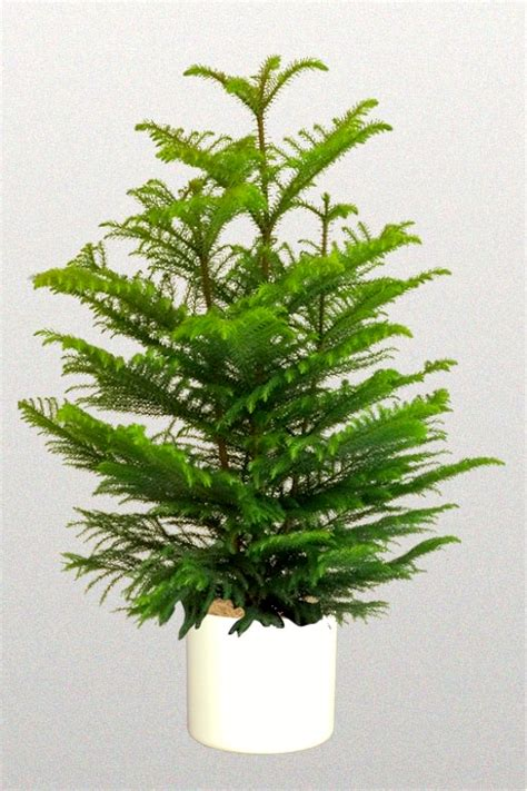 norfolk island pine morning names norfolk island pine ruach arnold zwicky s blog