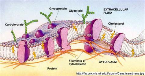 explain  structure  plasma membrane biology