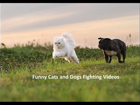 funny cats  dogs fighting epic cats  dog fight top