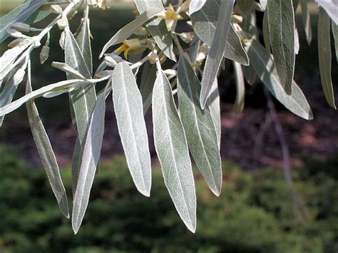 olive tree leaves isu forestry extension tree identification russian 1179